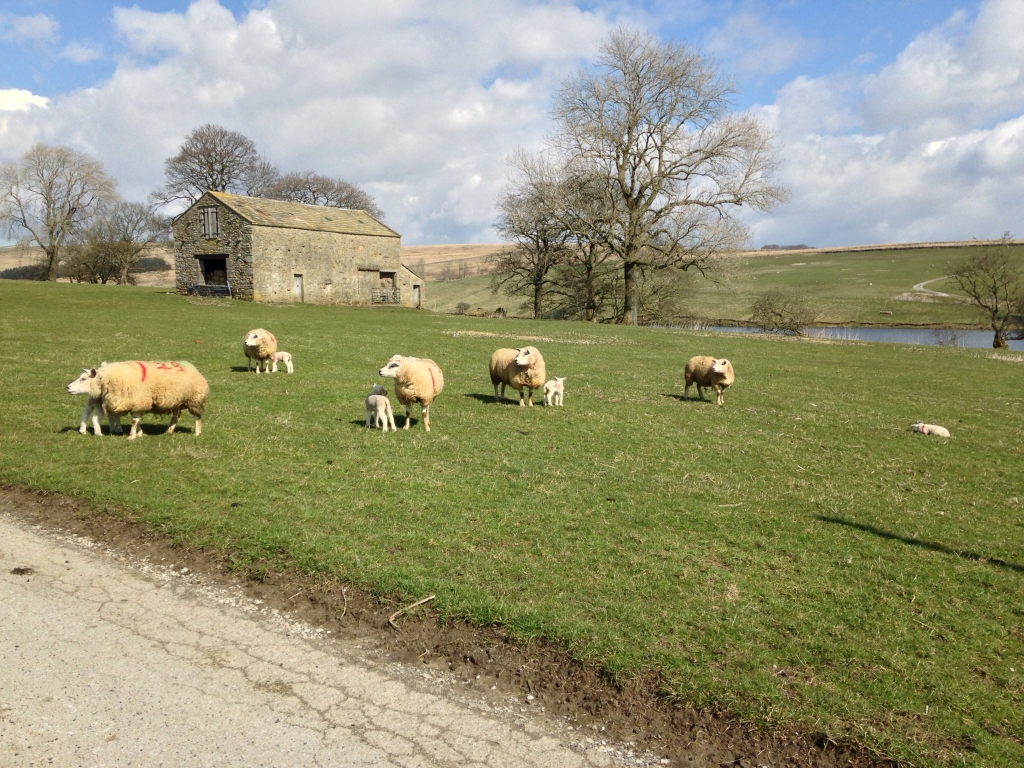 Barn next to Winterburn Reservoir with spring lambs